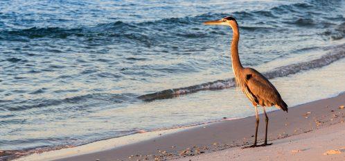 Large Bird Watching Sunrise On The Beach