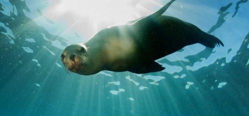 Swimming Seal at Gulf World in Panama City Beach